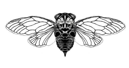 The Return of the Cicada
